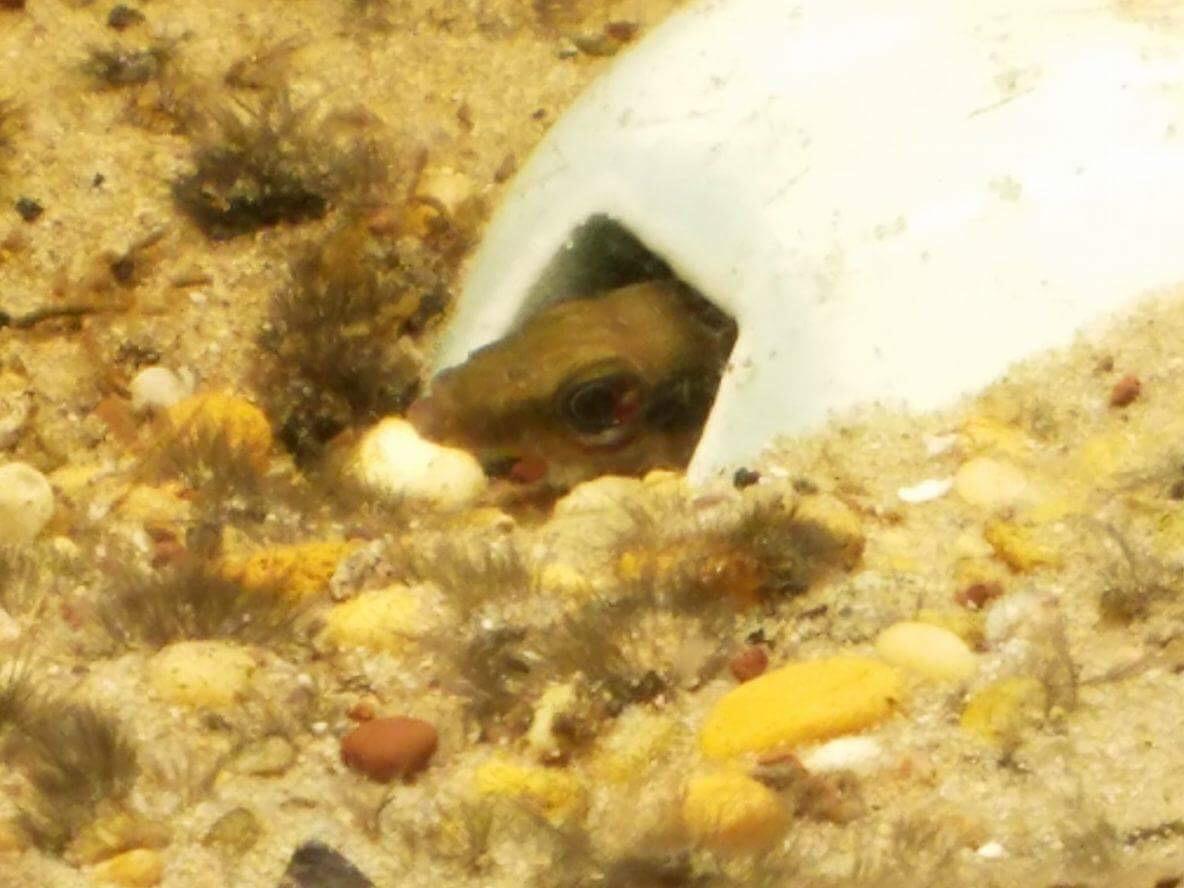 Dwarf Pike Cichlids enjoying their new breeding cave