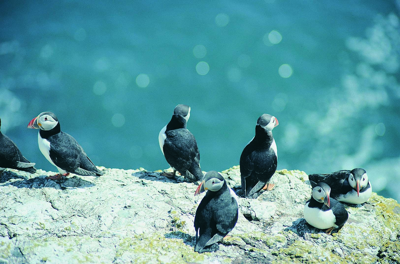 Puffins, Skomer Island