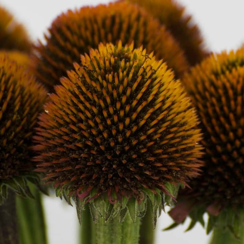 Florist in Portland Oregon discusses the use of Cone Flower