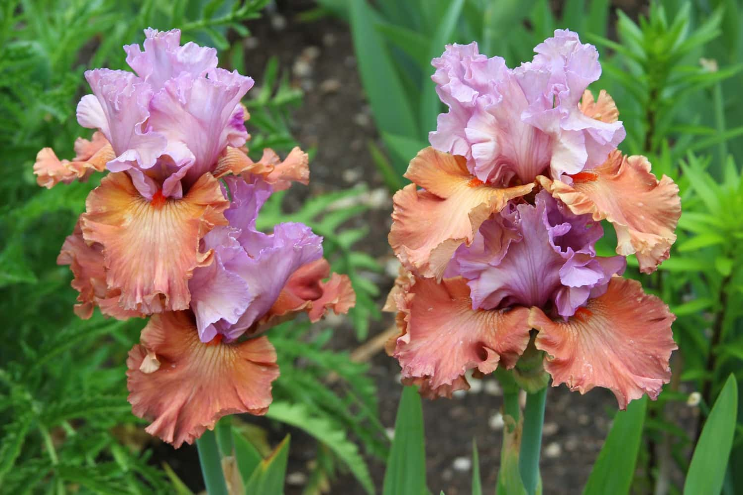Portland florist designs with Bearded Iris flowers for pops of color