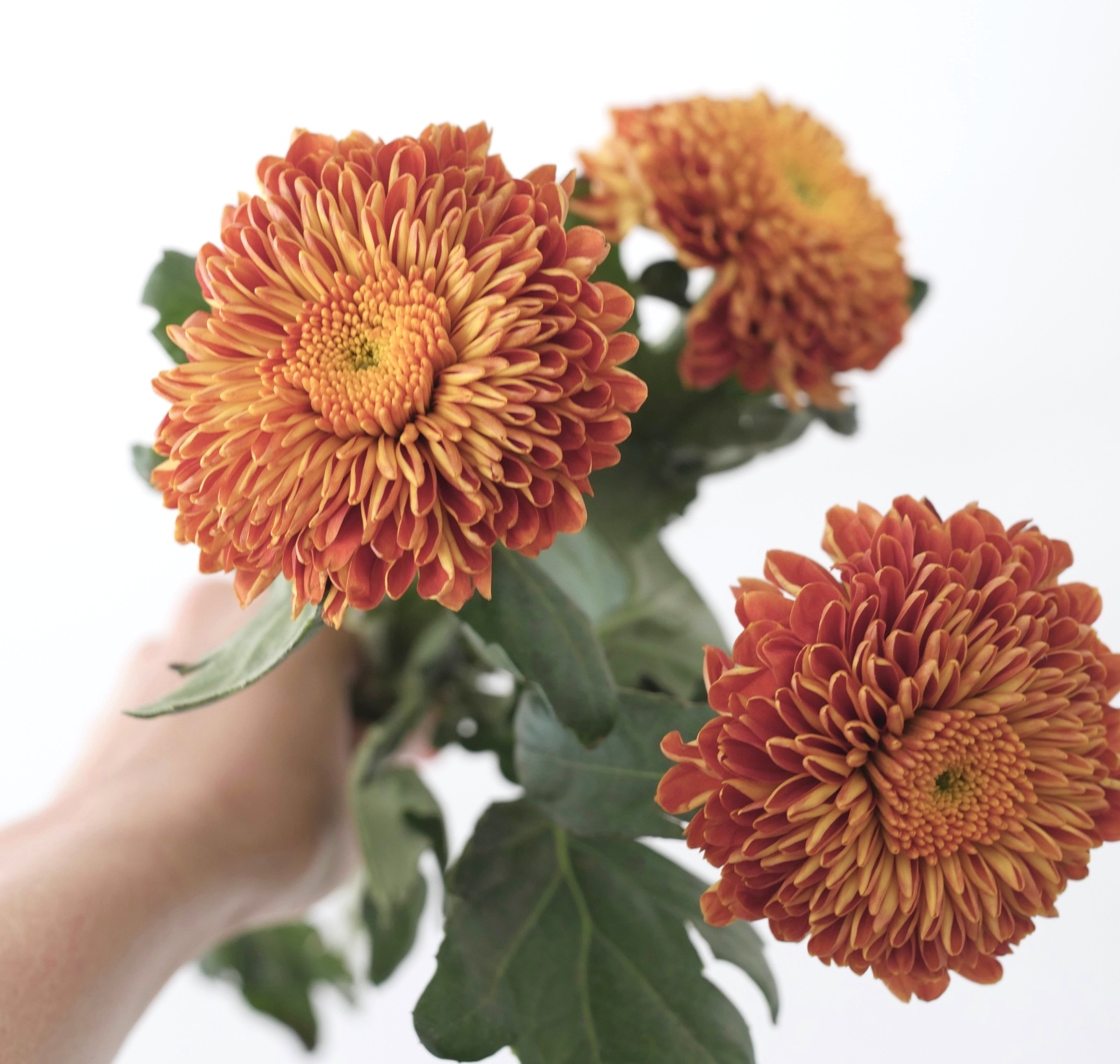 CHRYSANTHEMUM BLAZE - Another long-lasting bloom that can generally be sourced year-round. The delightful tones of rust and butterscotch will begin making an appearance come autumn. These are tricky colors to come by, so if a rusty orange is in your palette, turn your attention this way!