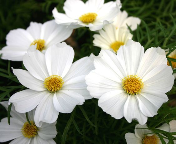 WHITE COSMOS - These delicate ladies give any design a whimsical and airy look. The golden centers and white petals are ideal for our photoshoot palette, a fitting liaison between the white and golden tones in our overall color theme.