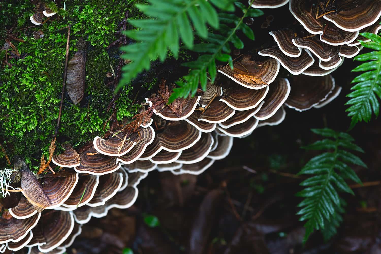 Portland florist forages for Turkey Tail mushroom in Portland Oregon forests