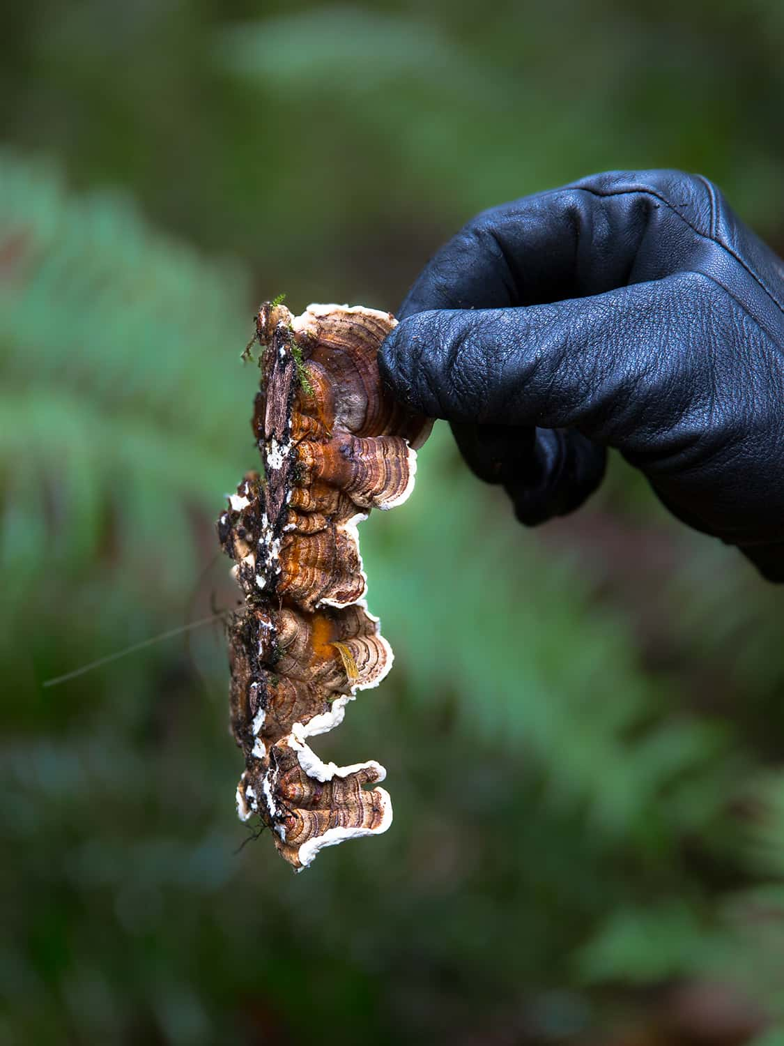 Portland wedding florist shows freshly harvested Turkey Tail mushroom picked from a dead log in Oregon forest