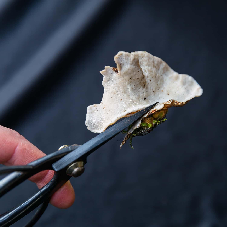 Portland florist trims foot from Turkey Tail mushroom