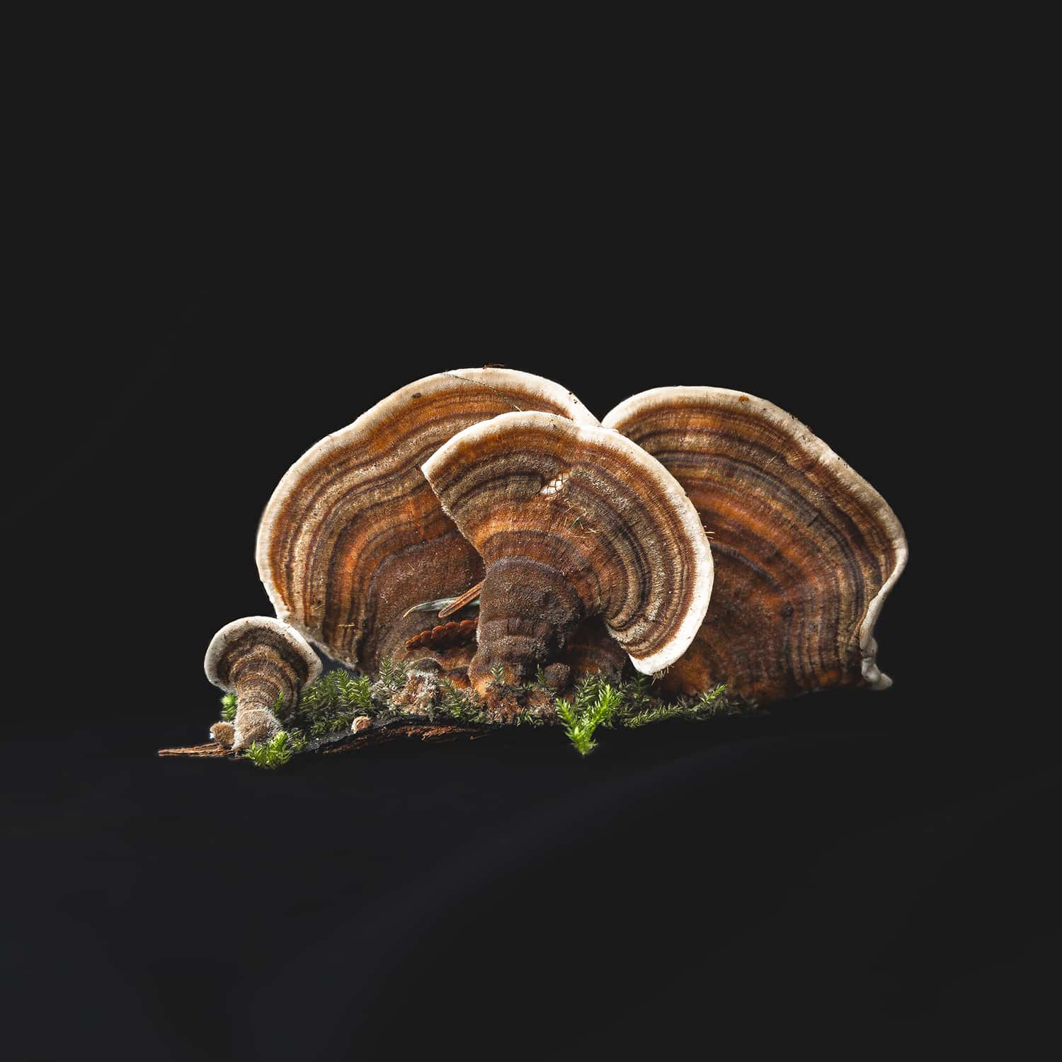 A Turkey Tail mushroom collected from Portland Oregon forest