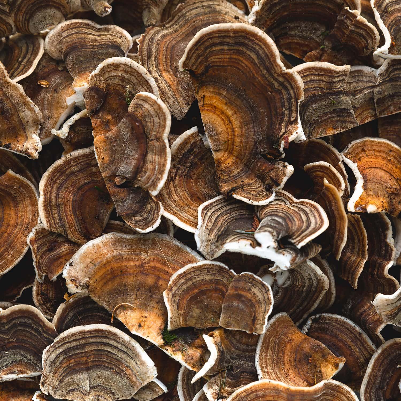 Portland florist prepares to air-dry cleaned Turkey Tail mushrooms