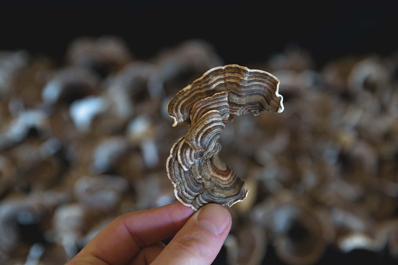 Portland florist shows detail view of a dried Turkey Tail mushroom