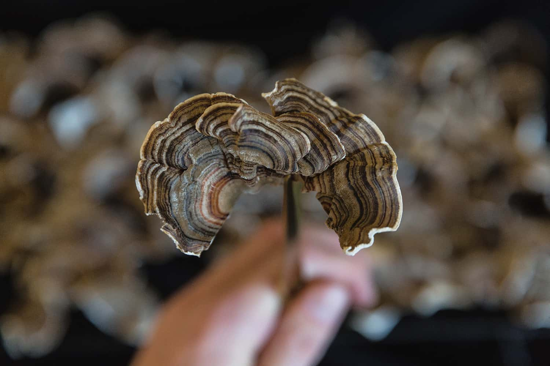 Portland florist shares detail image of dried Turkey Tail mushroom