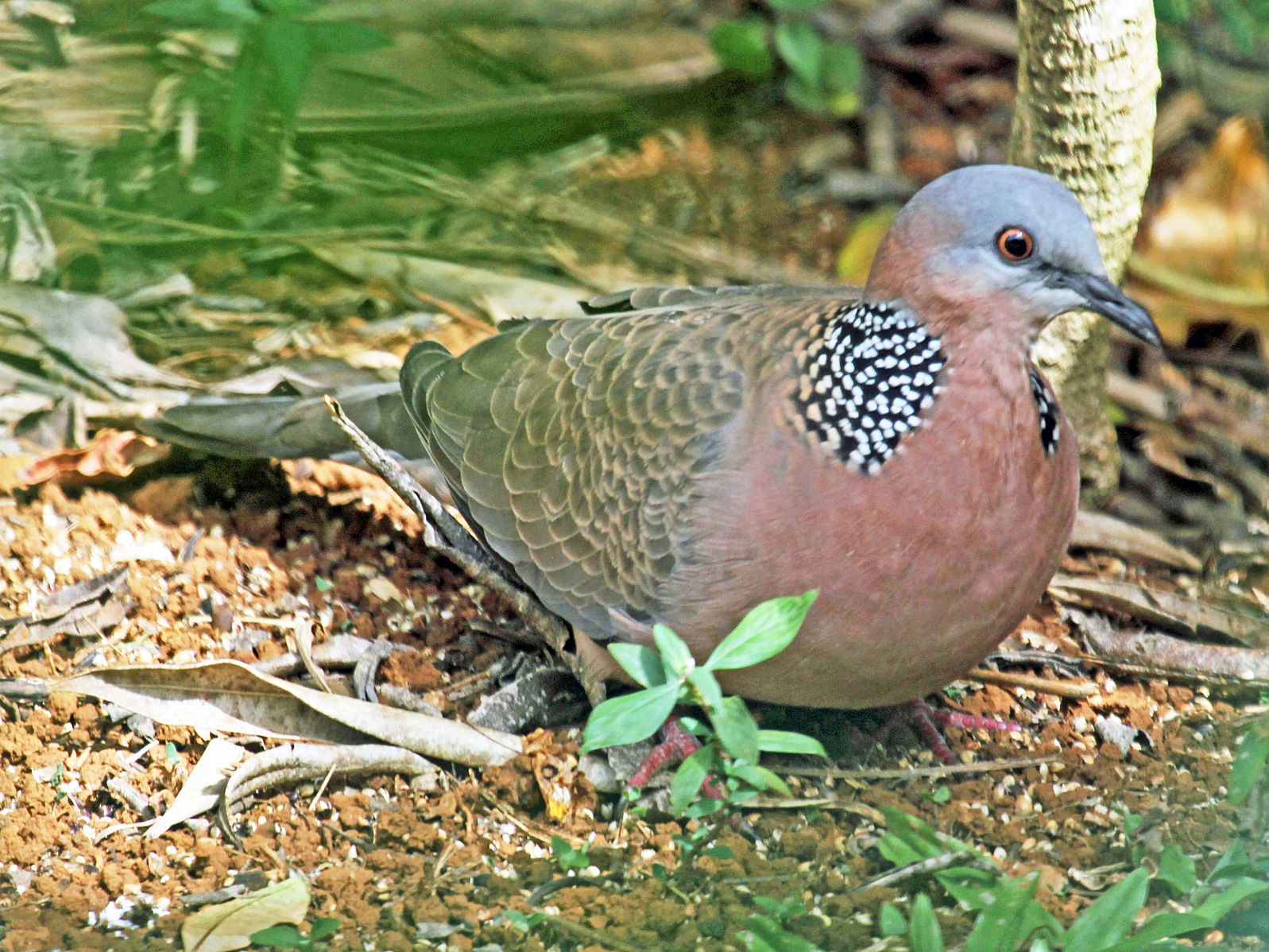 Spotted Dove (Streptopelia chinensis or Spilopelia chinensis), also known as the Spotted Turtle Dove - Kauai, Hawaii. (Photo: Dick Daniels/Carolinabirds.org)