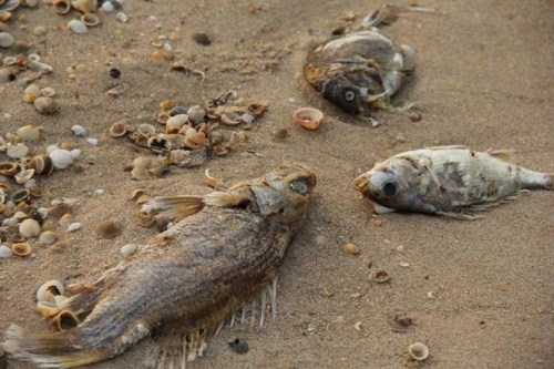 Dead fish found on the coast in Ky Anh Town (Photo: Talk Vietnam)