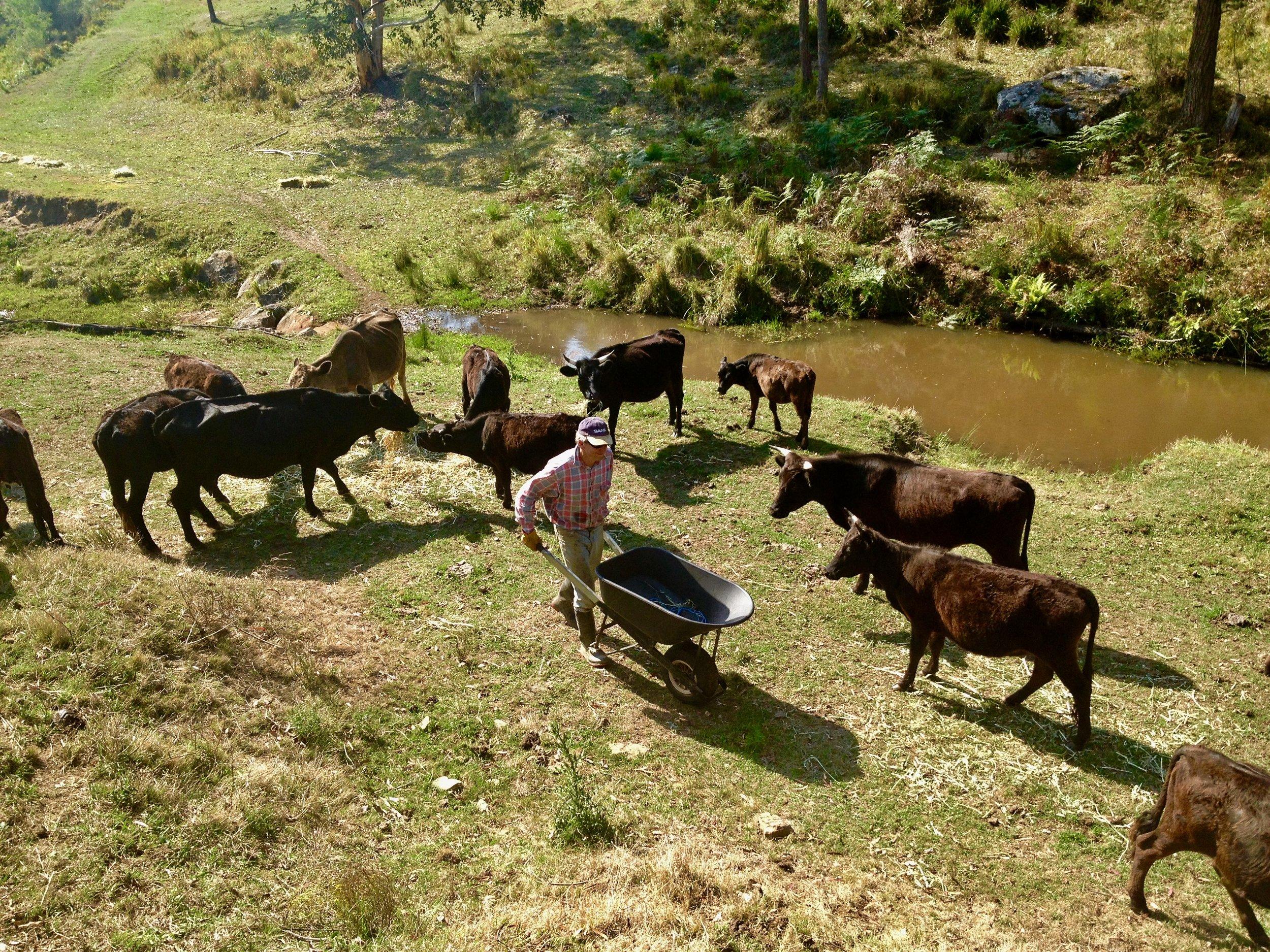 cows and wheel barrow.jpg