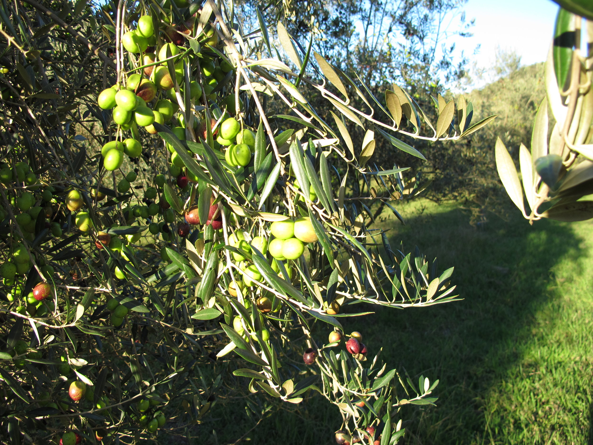 Olivesintree.JPG