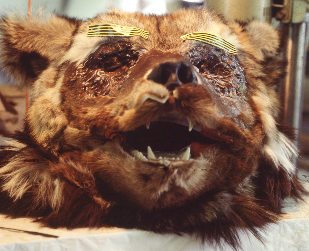 - Various types of fur skins were used to simulate a real bear. ie: fine otter fur was used for the face.