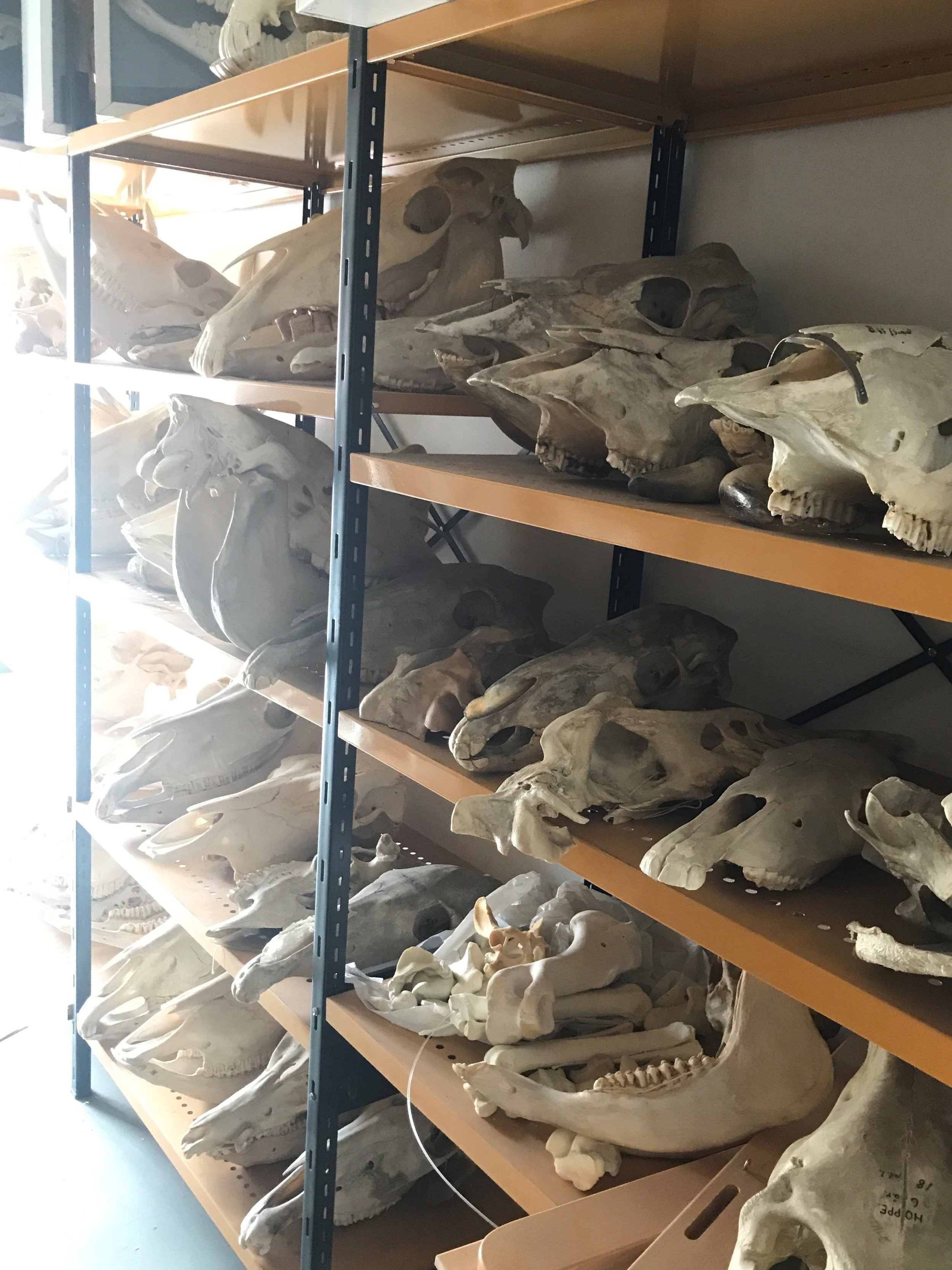 I thought I'd include a sneaky image I took in the storage area above the dissection room. We're currently working on the digestive system, and today's demonstration revolved around teeth.