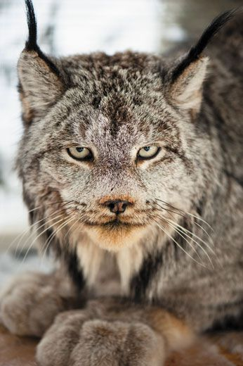 Image from the Smithsonian Magazine (link: https://www.smithsonianmag.com/science-nature/tracking-the-elusive-lynx-46540/ )