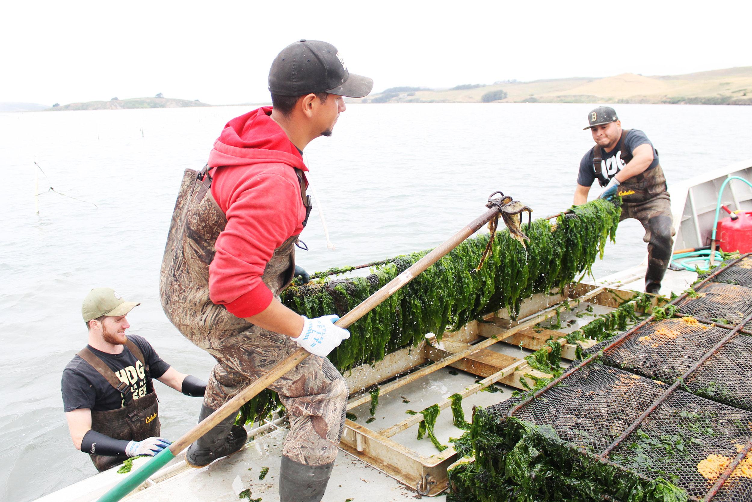 Photo Credit Remy Galvan Hale. Courtesy Hog Island Oyster Co. Harvesting Racks_2.jpg