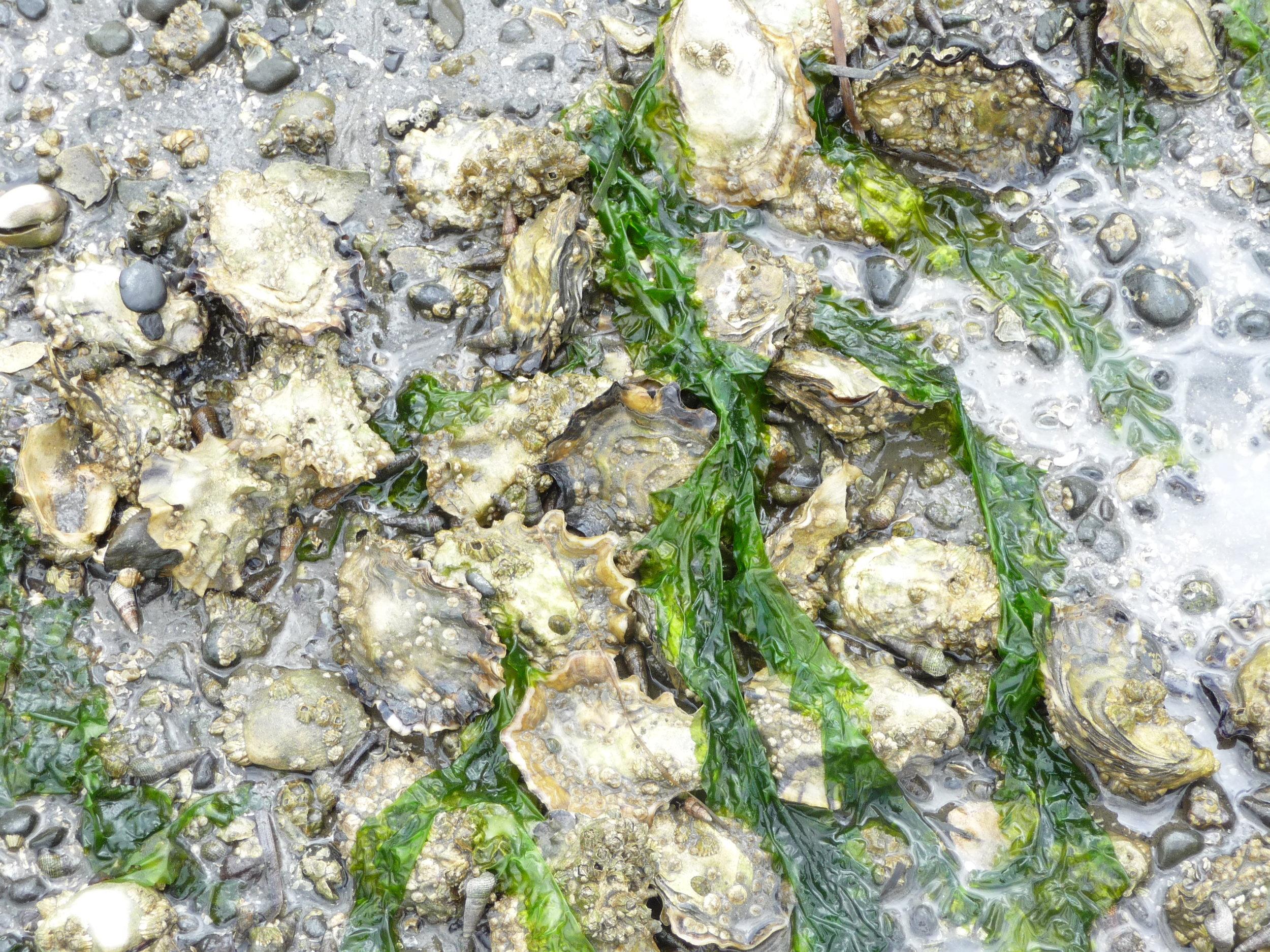 bed_grown_oysters.jpg