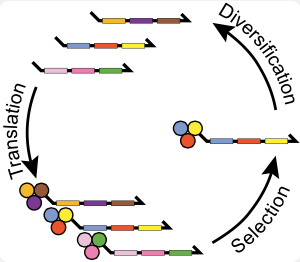 DNA-encoded small molecules can be evolved through multiple generations of translation, selective pressure, amplification and diversification to have unprecedented functionality.