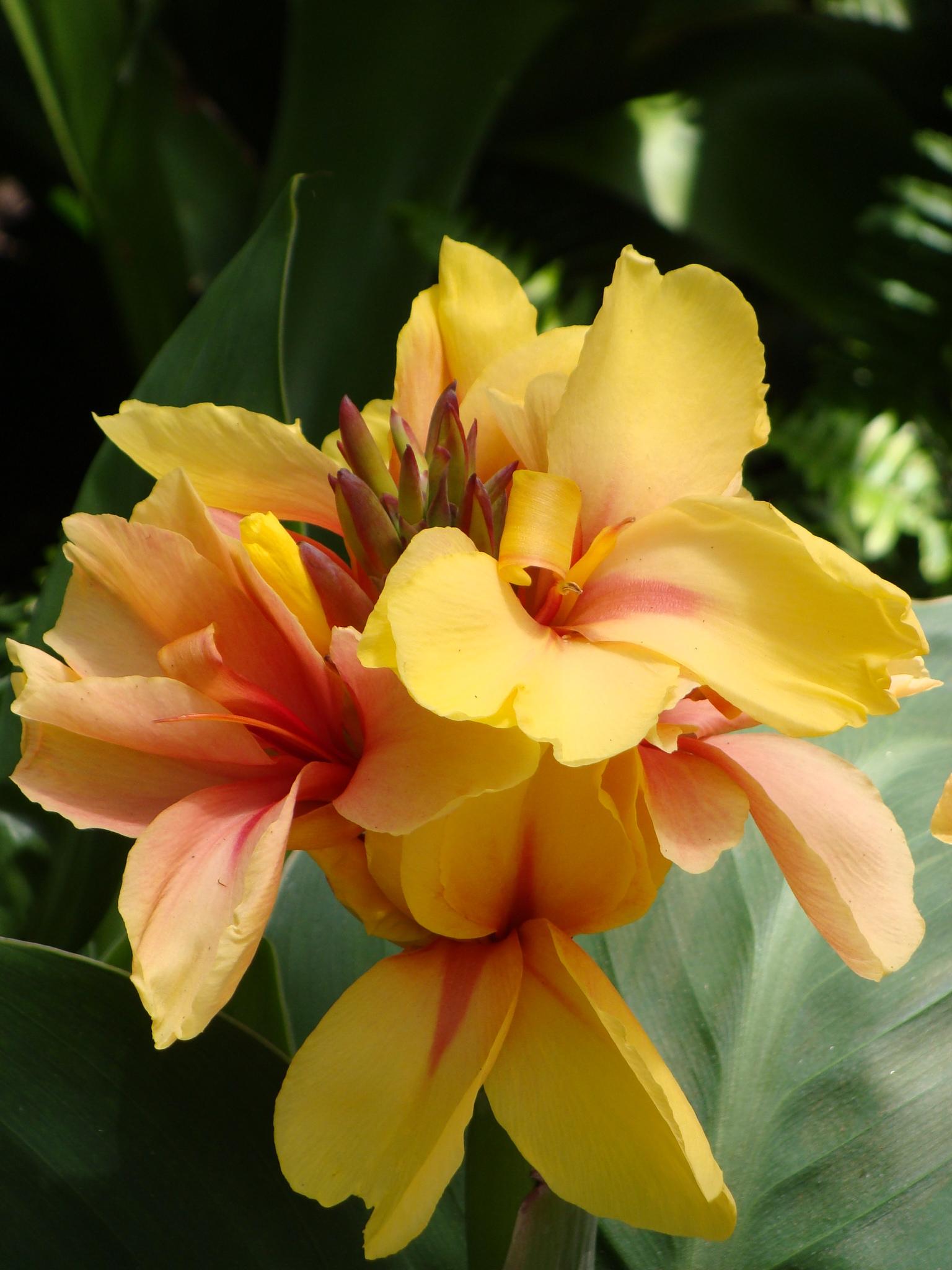 2 Canna lily Red Yellow Paniculata flower green foliage bulbs//rhizomes Medium