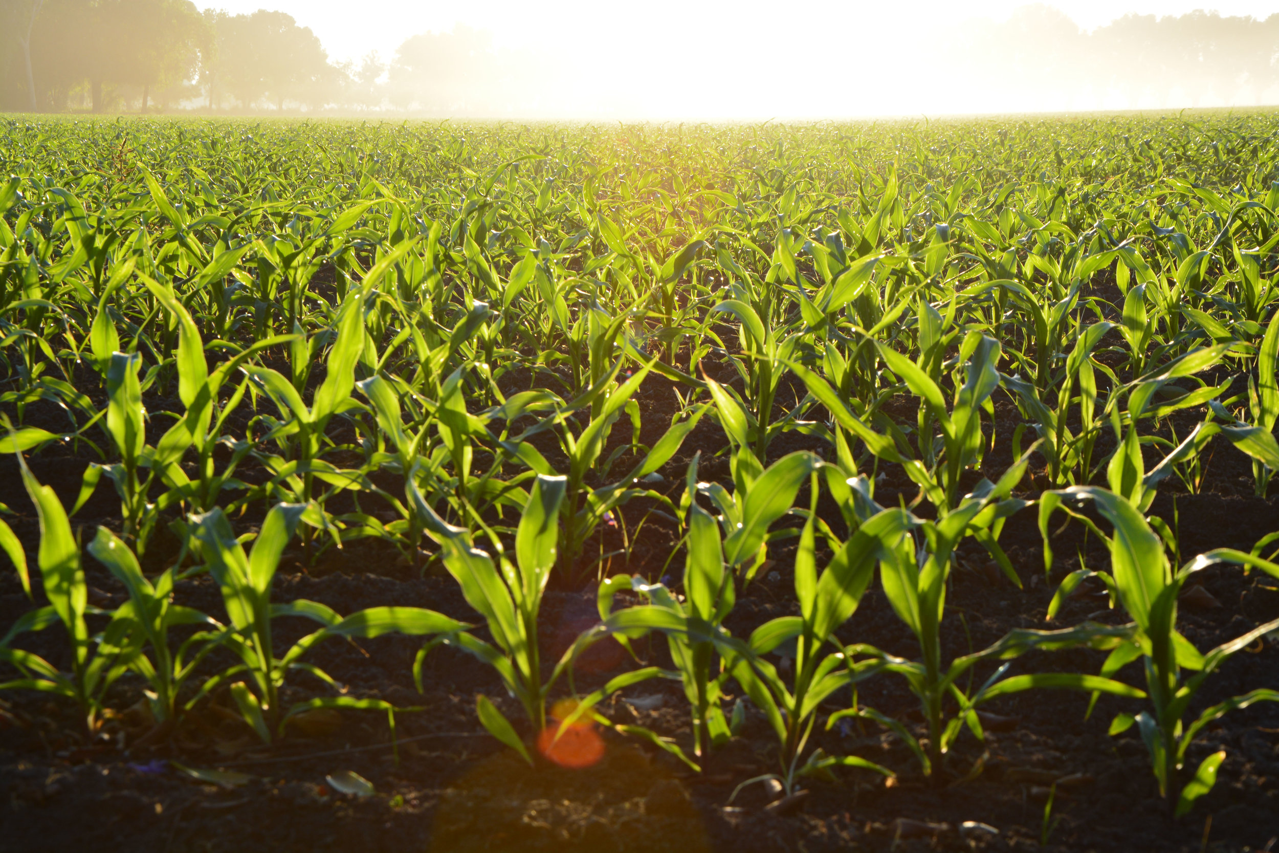 corn_field.jpeg