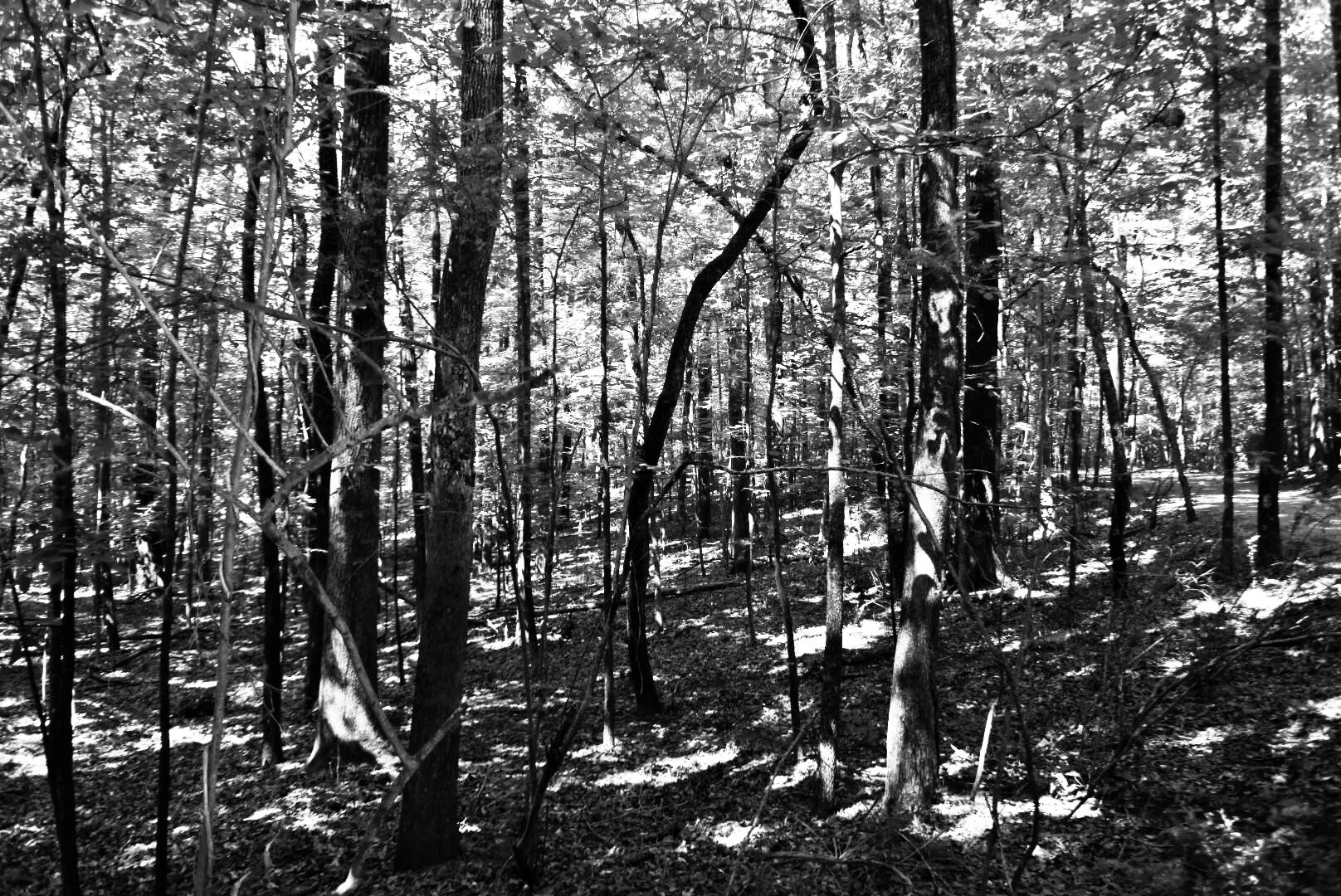Rowan Oak woods 03.jpeg