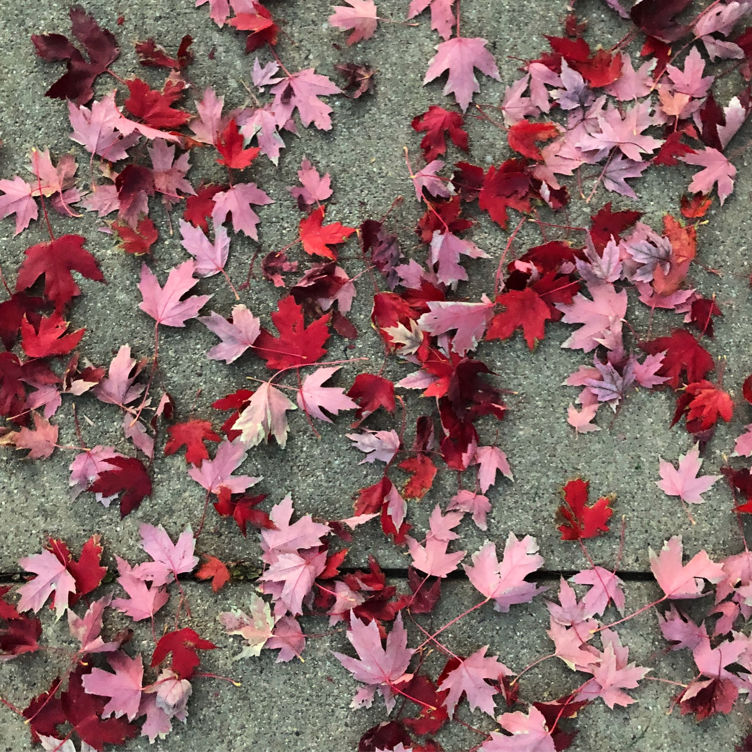 Fall leaves 01.JPG