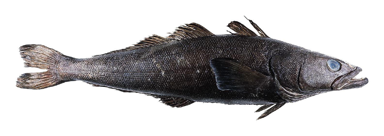 Patagonian Toothfish (Chilean Sea Bass)