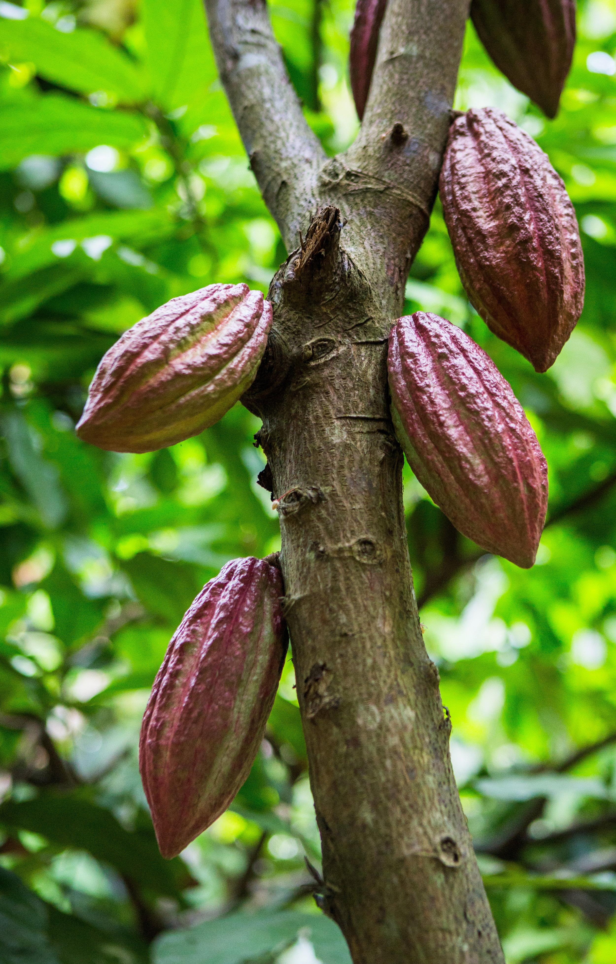 Cocoa Pods on the Vine