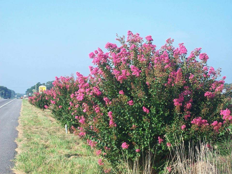 Crepe Myrtles line the Shore's Route 13, a historic highway beautification project.