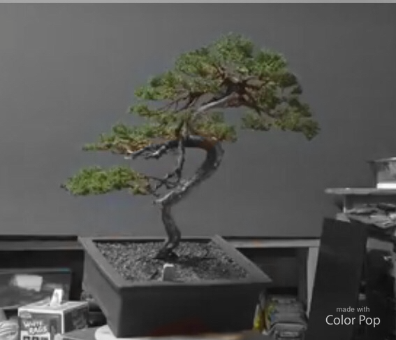 Restyling work on a Procumbens Juniper.
