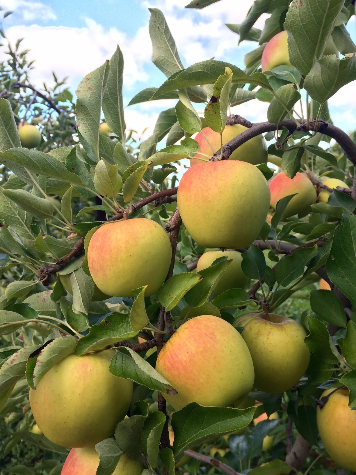 Apples 3.jpg