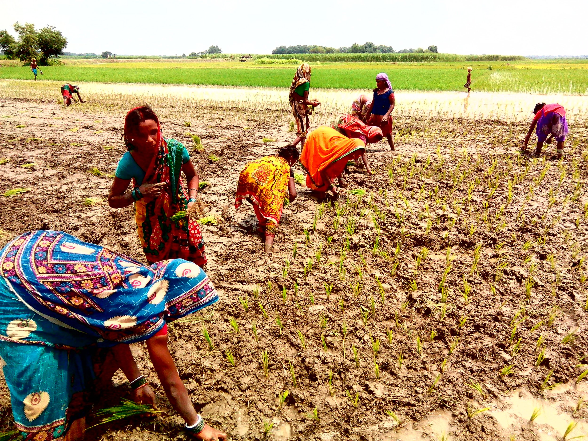 Women transplants paddy saplings in a village in Araria. Credit: Zaheeb Ajmal