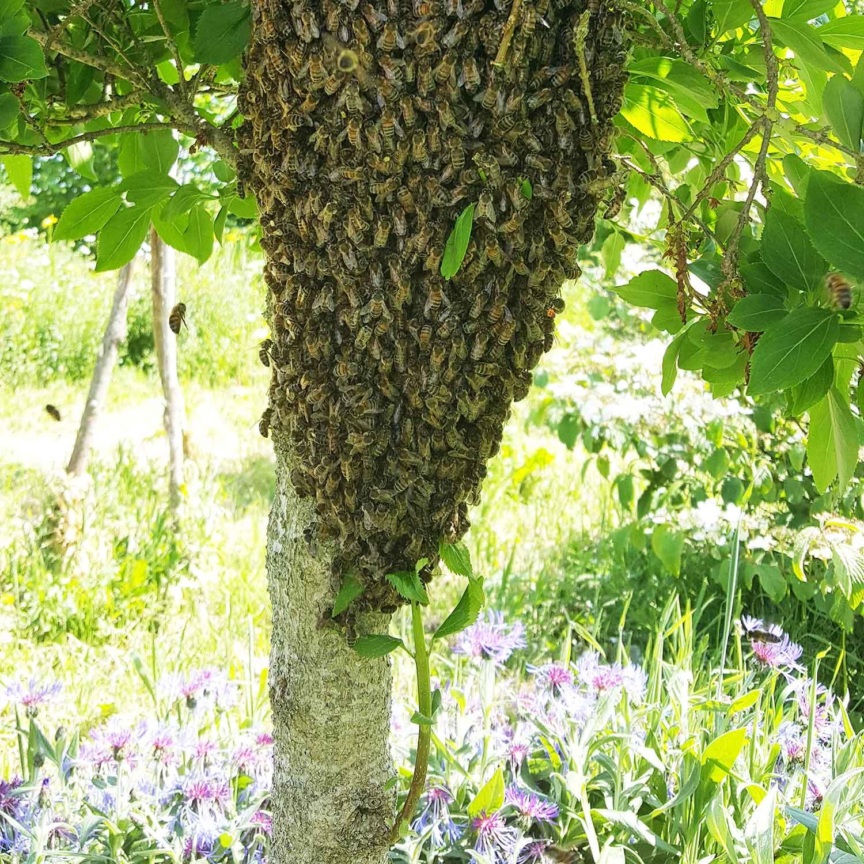 A honey bee swarm around a tree trunk.