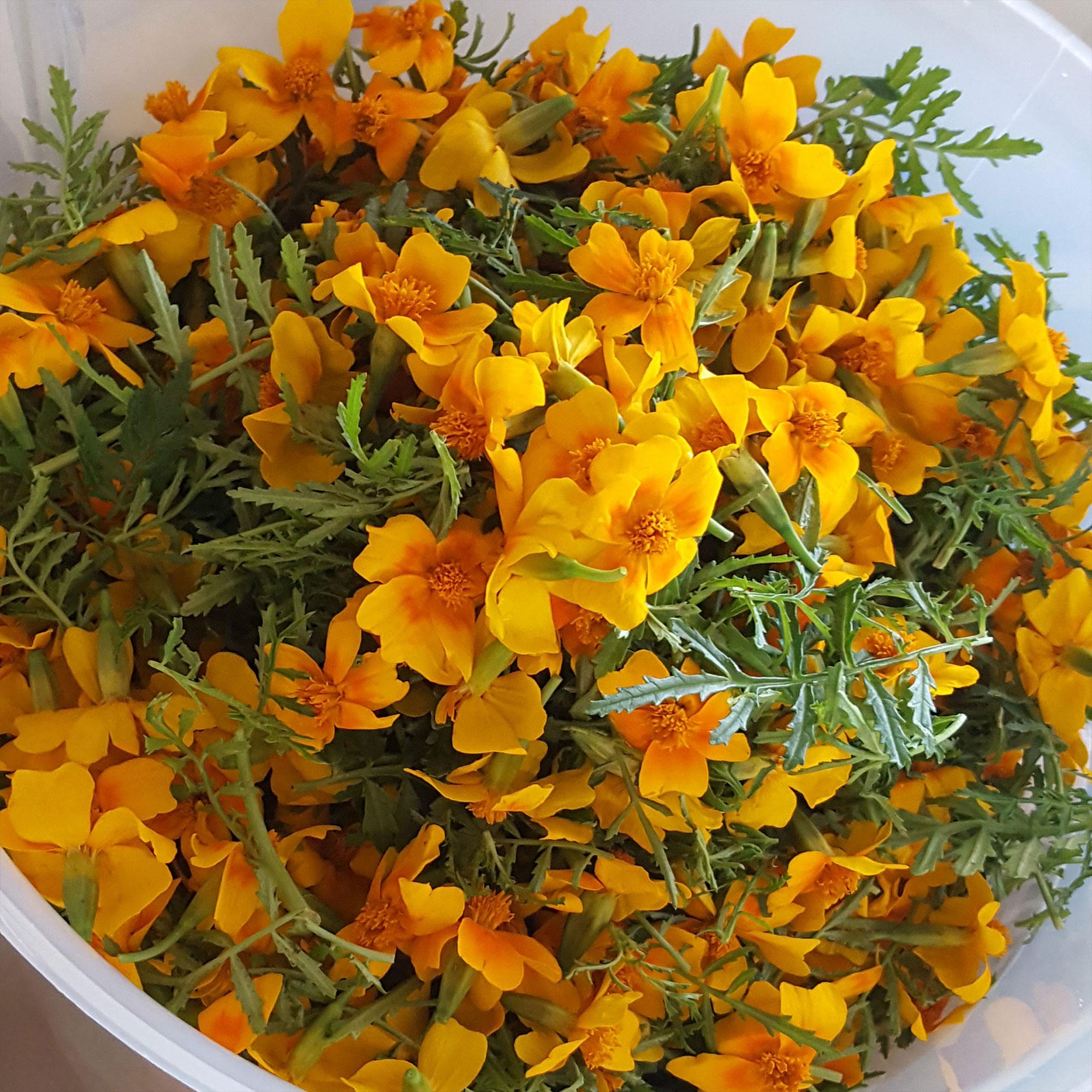yorkshire-marigold-flowers.jpg