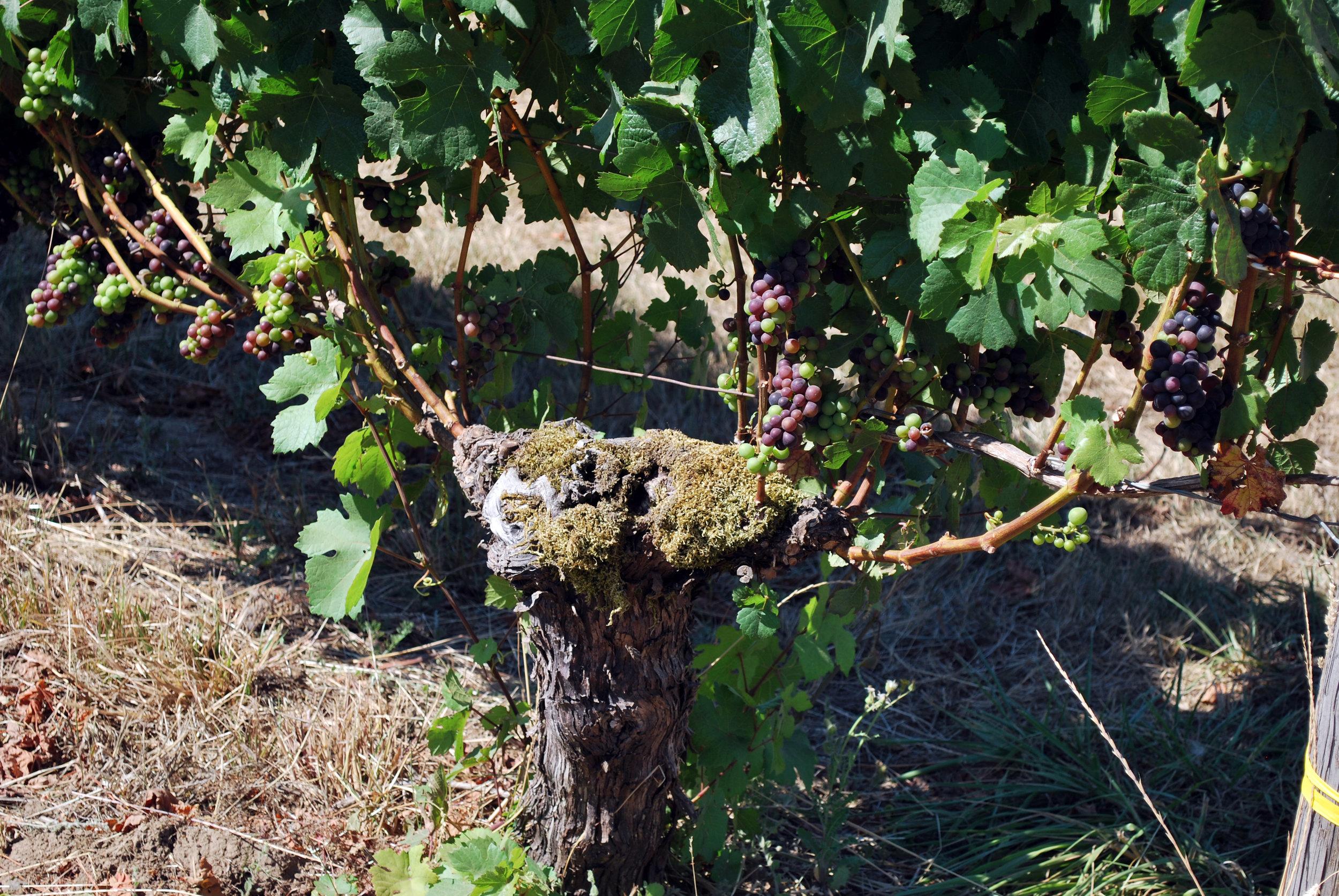 Chehalem Mtn Vineyard Vine Aug 2016.jpg