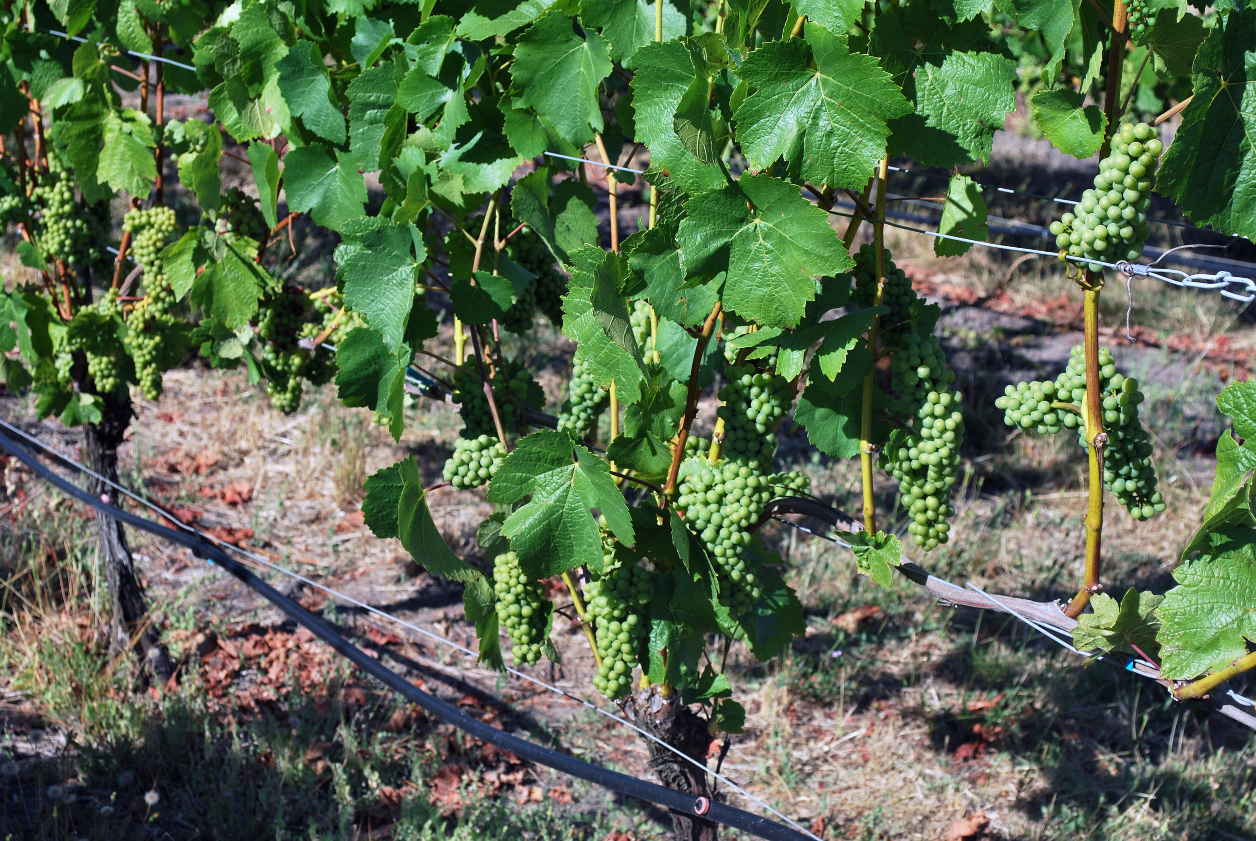 Holmes Gap Vineyard Grapes Aug 2016.jpg