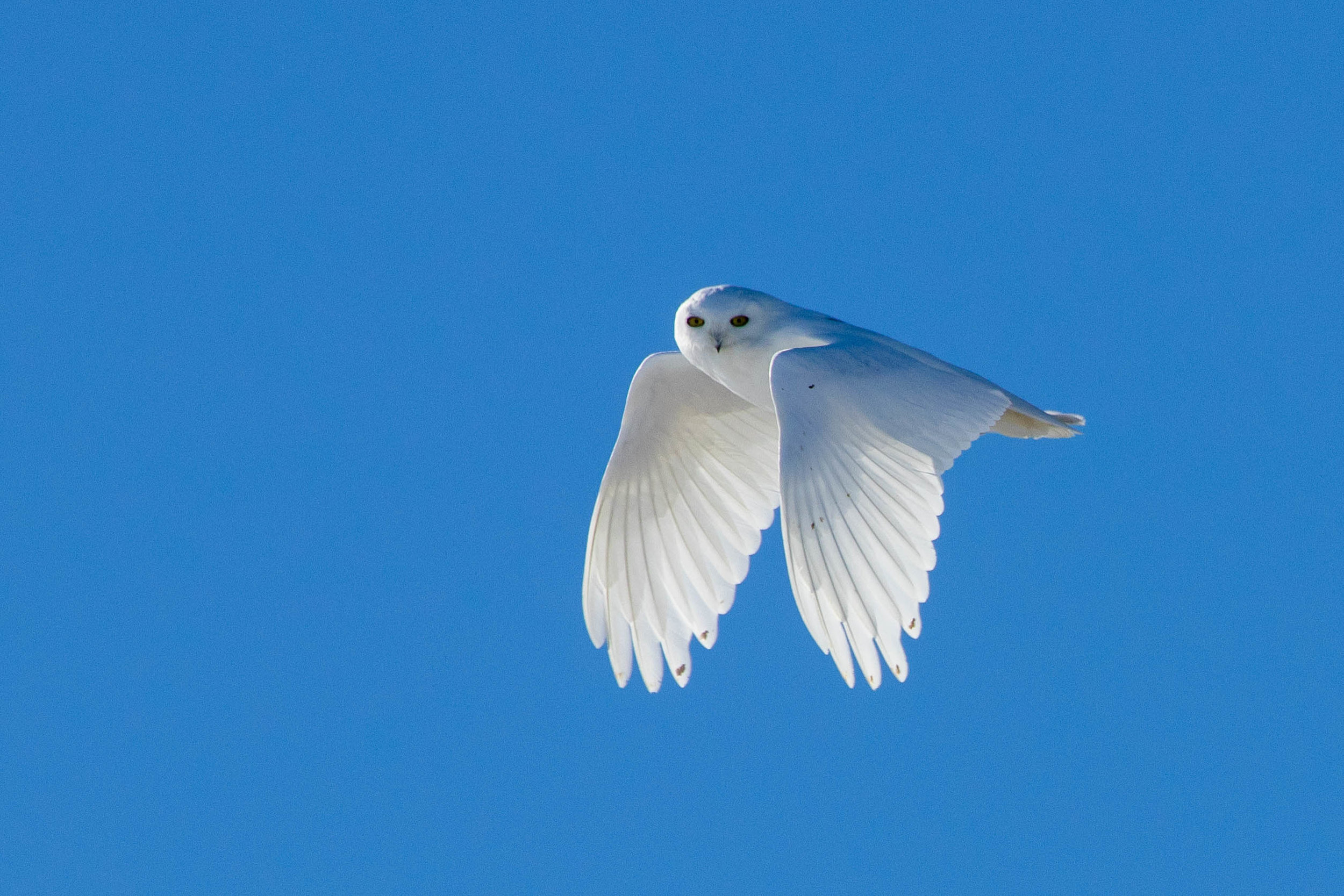Snowy owl flying wings down.jpg