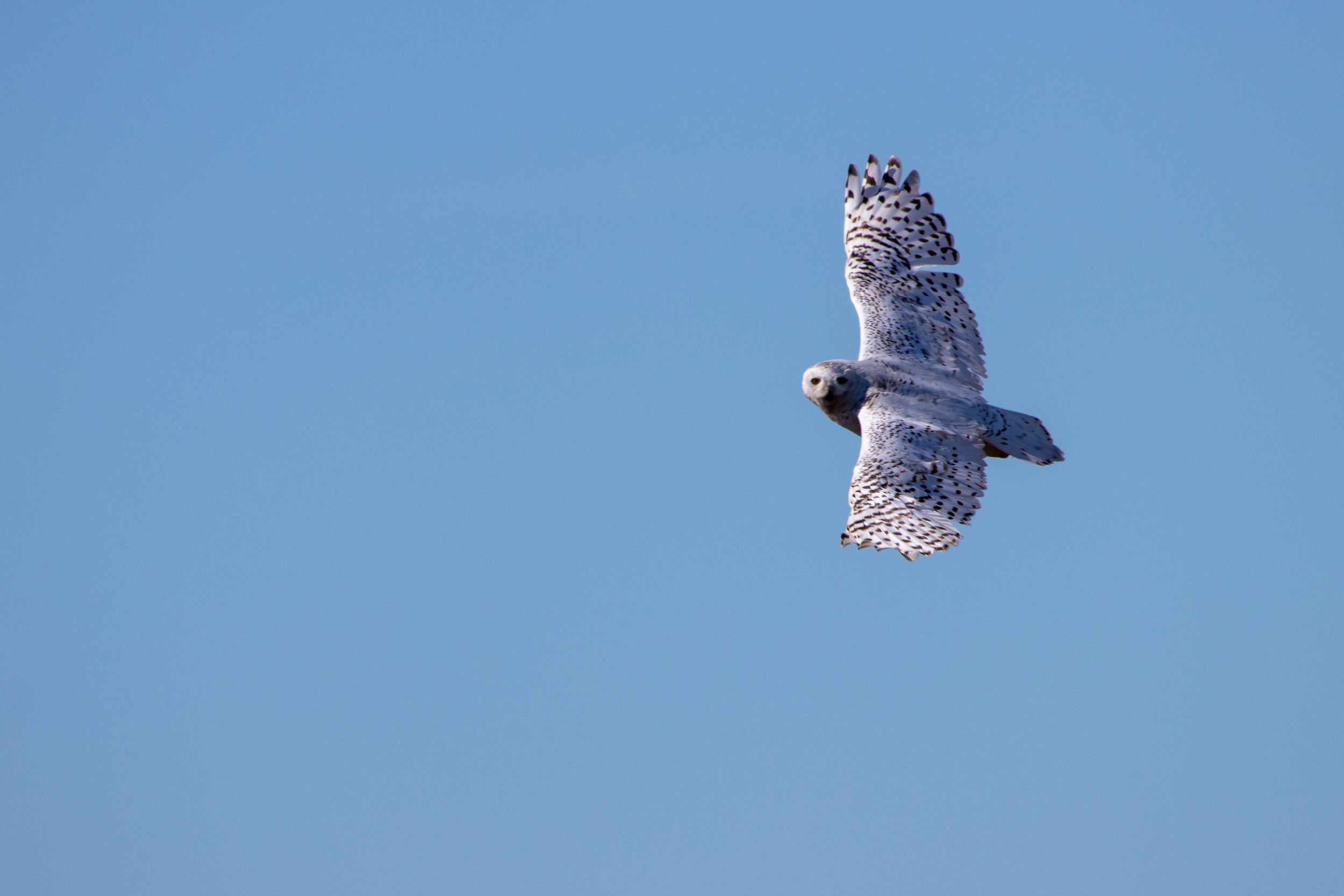 snowy owl flying spots.jpg