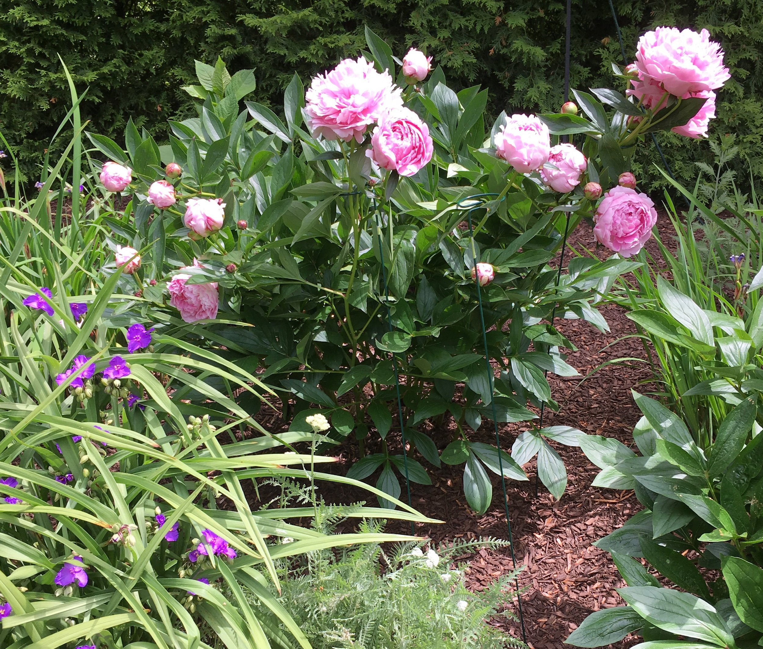 Kate Smith Interiors Garden Pink Peonies.jpg