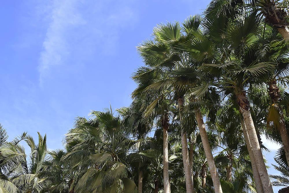 palmtresskapverde.jpg