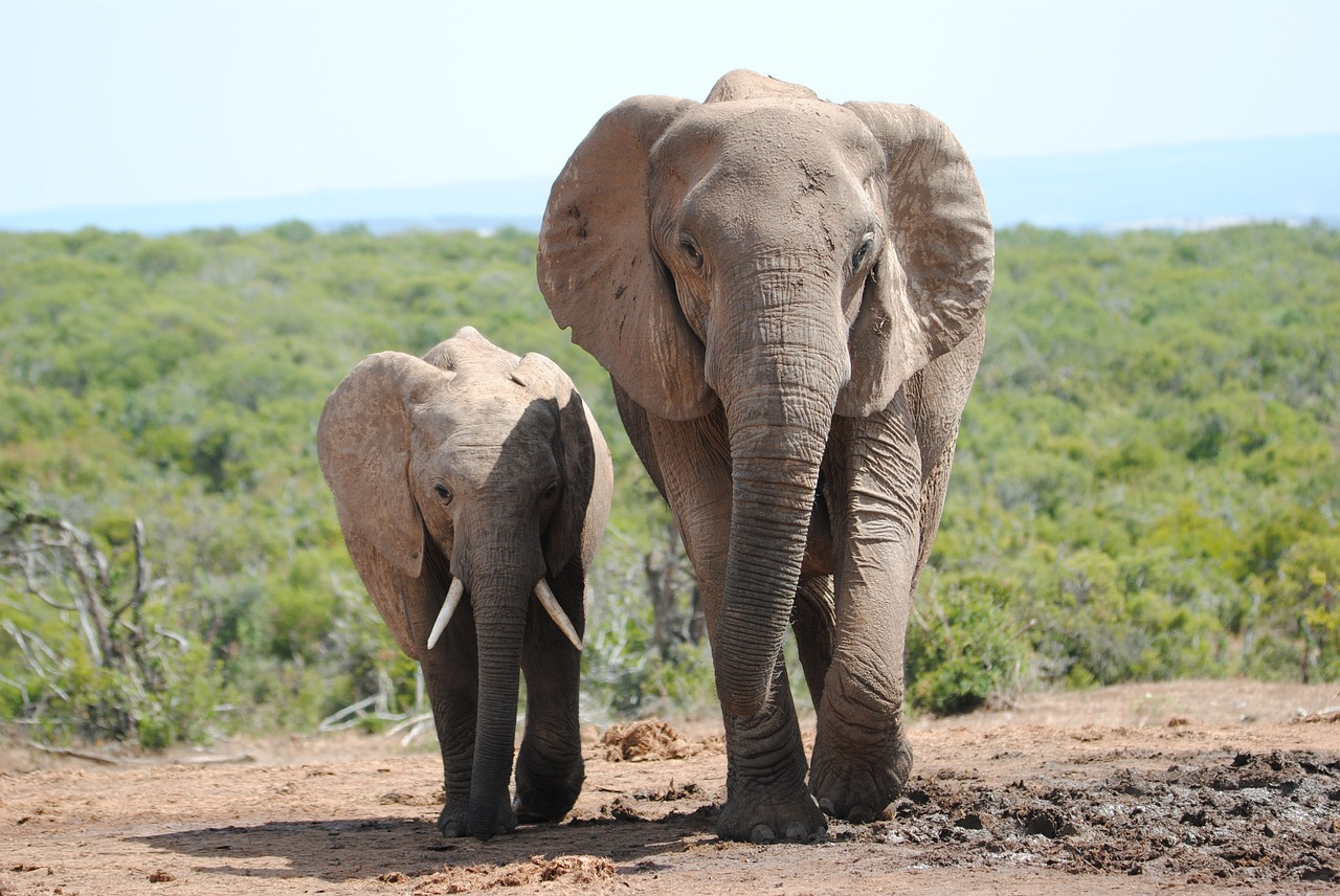 elephant-4249027_1280.jpg