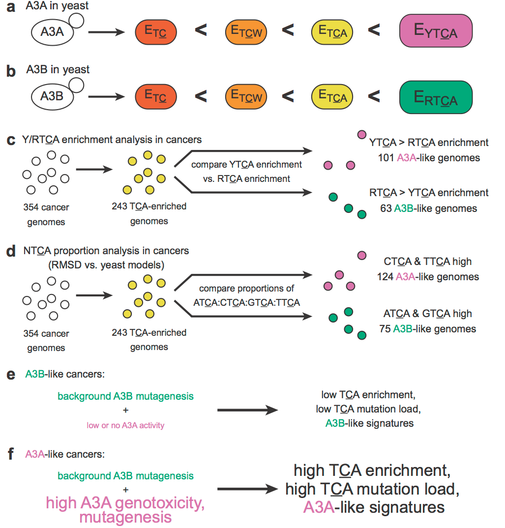 a. APOBEC3A (A3A) produces a statistical enrichment for mutations at YTCA motifs (where Y = a pyrimidine base, either C or T) in the yeast system.    b. In contrast, APOBEC3B (A3B) produces a statistical enrichment for mutations at RTCA motifs (where R = a purine base, either A [adenine] or G) in the yeast system.    c. By comparing enrichment for mutations at YTCA vs. at RTCA motifs, 101 cancer genomes with an A3A-like mutation signature and 63 genomes with an A3B-like signature were identified among the 354 cancer genomes analyzed.    d. Using a more sensitive approach comparing proportions of mutations at each of the four NTCA motifs, 124 A3A-like and 75 A3B-like cancers were identified.    e. A3B-like cancers likely arose because of background mutagenic activity by A3B.    f. A3A-like cancers probably resulted from high A3A activity that overwhelms the background mutagenic signature of A3B. The molecular basis for this increased A3A activity is not fully understood.    From Chan  et al. , Nature Genetics 2015.