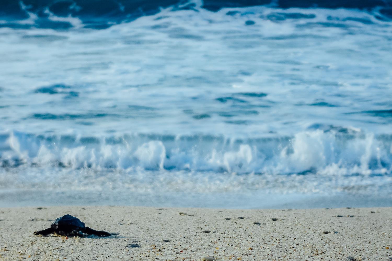 SeaTurtle-Beach-Baja-Mexico-Baby-Hatchling-Turtle-Sand.jpg