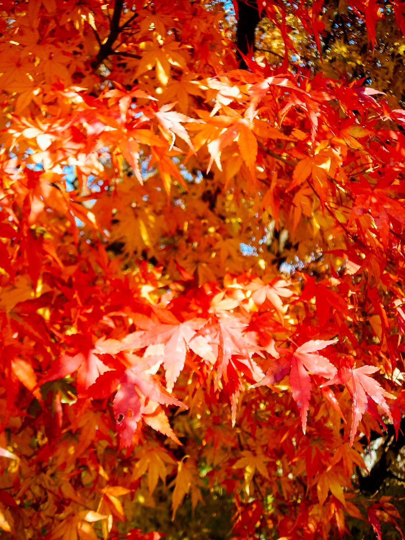 Foliage-Fall-Orange-Leaves-Japan-Momiji-Durazo-Photography.jpg