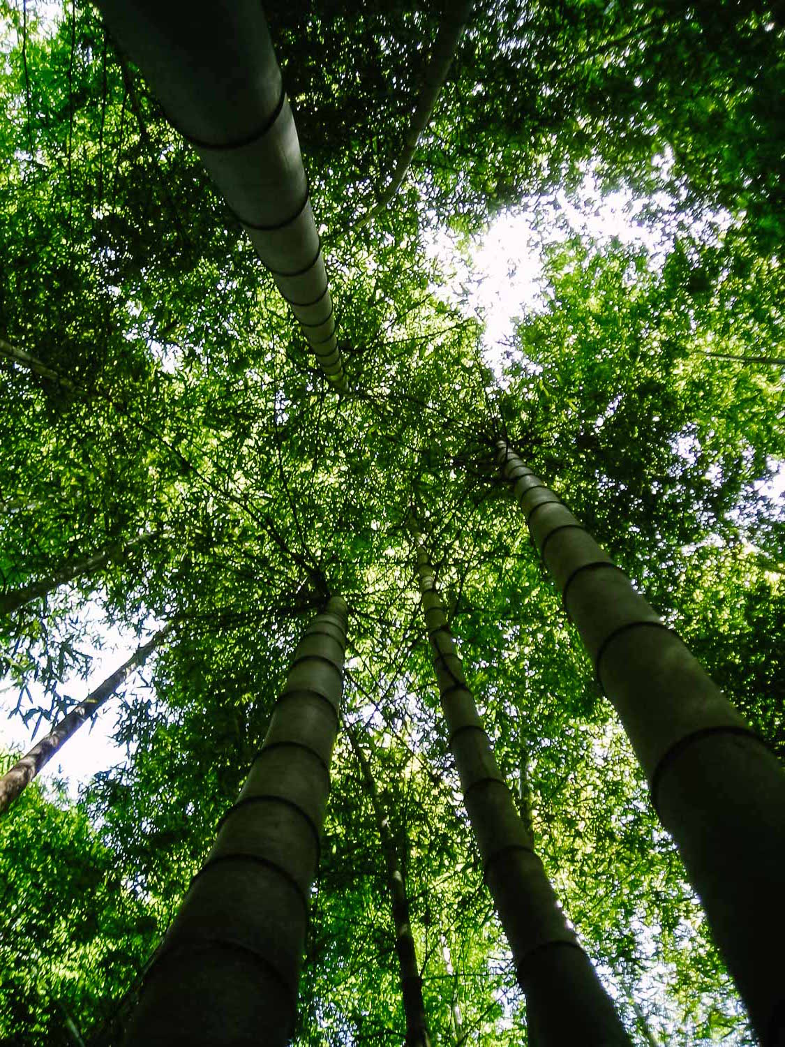 Trees-Green-Bamboo-Forest-Japan-Durazo-Photographer.jpg