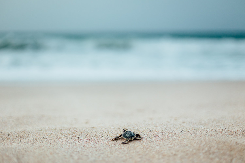 SeaTurtle-Beach-Oman-Baby-Hatchling-Turtle-Sand.jpg