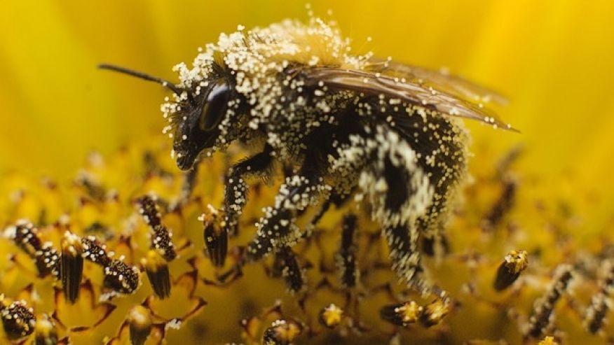 Bee pollen as a holistic health remedy