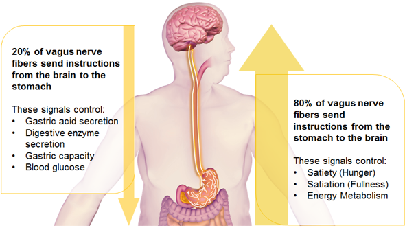 vagus-nerve-function-intermittent-vagal-nerve-blockade-for-morbid-obesity-houston.png
