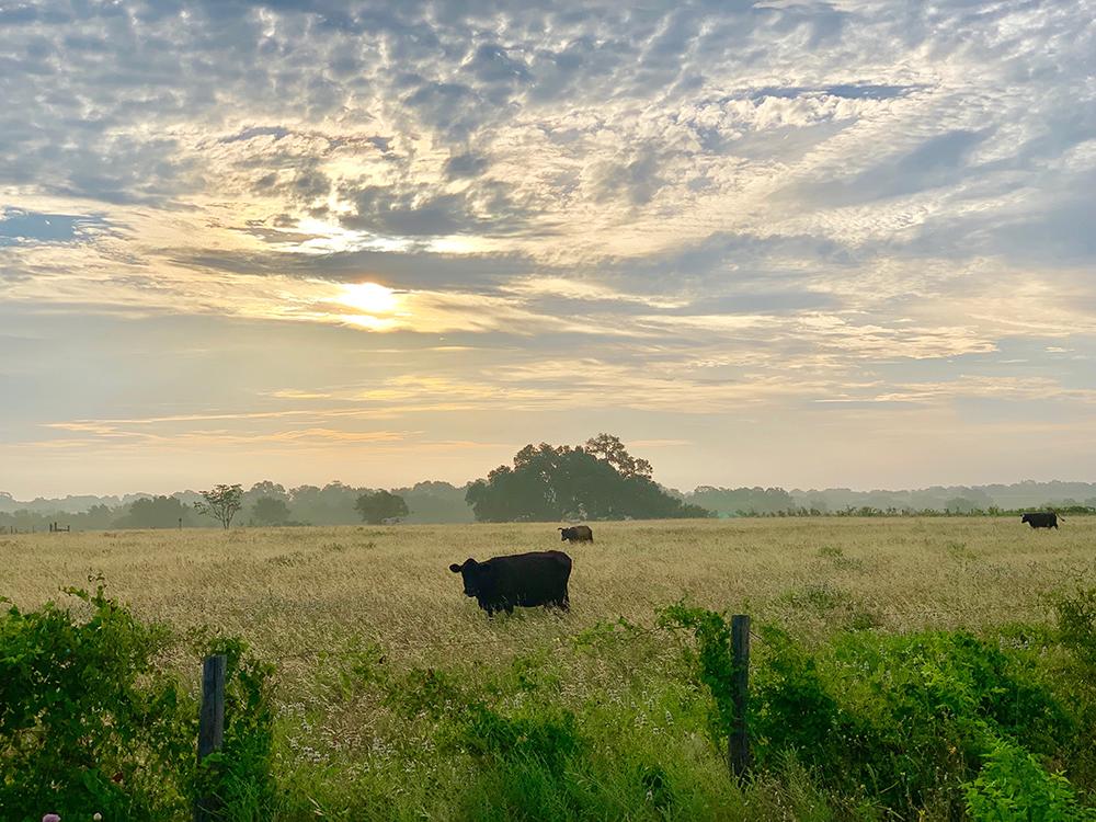 Cows2019.jpg